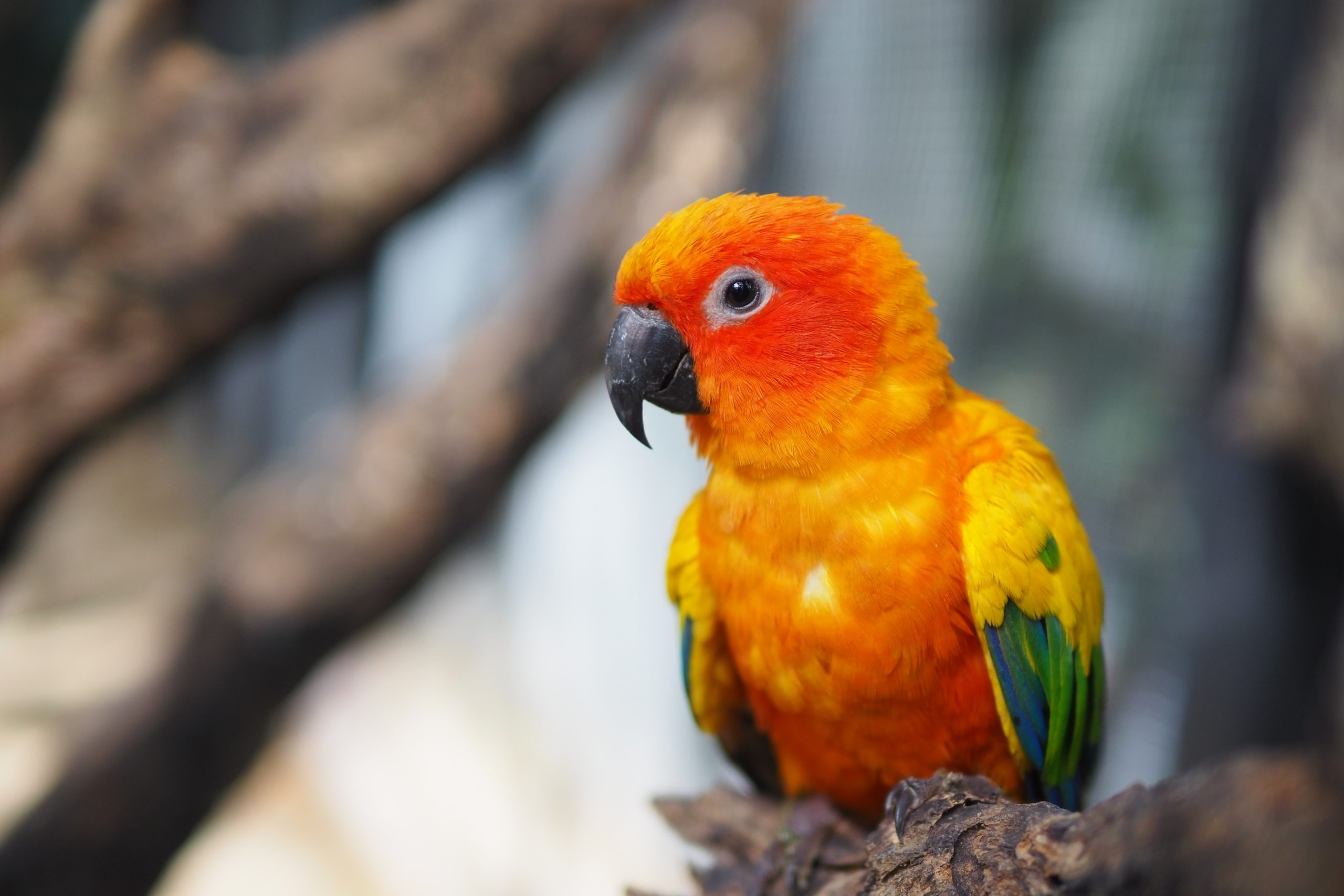 types of conures