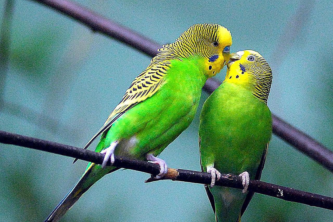 budgie bird