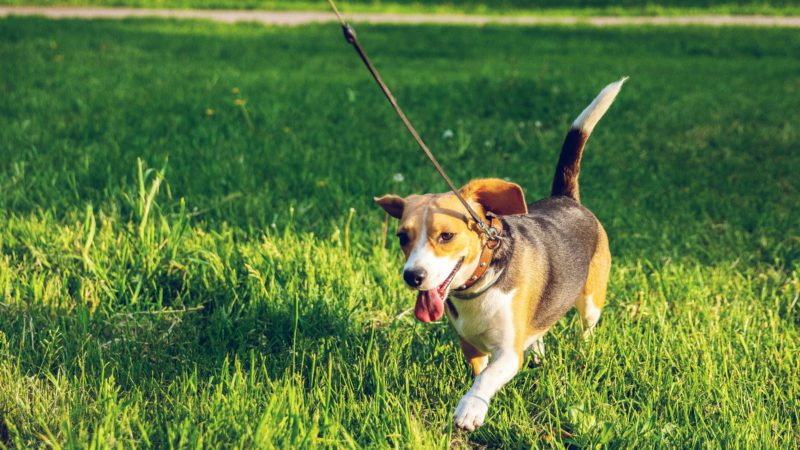 Best Dog Leash For Untrained and Trained Dogs