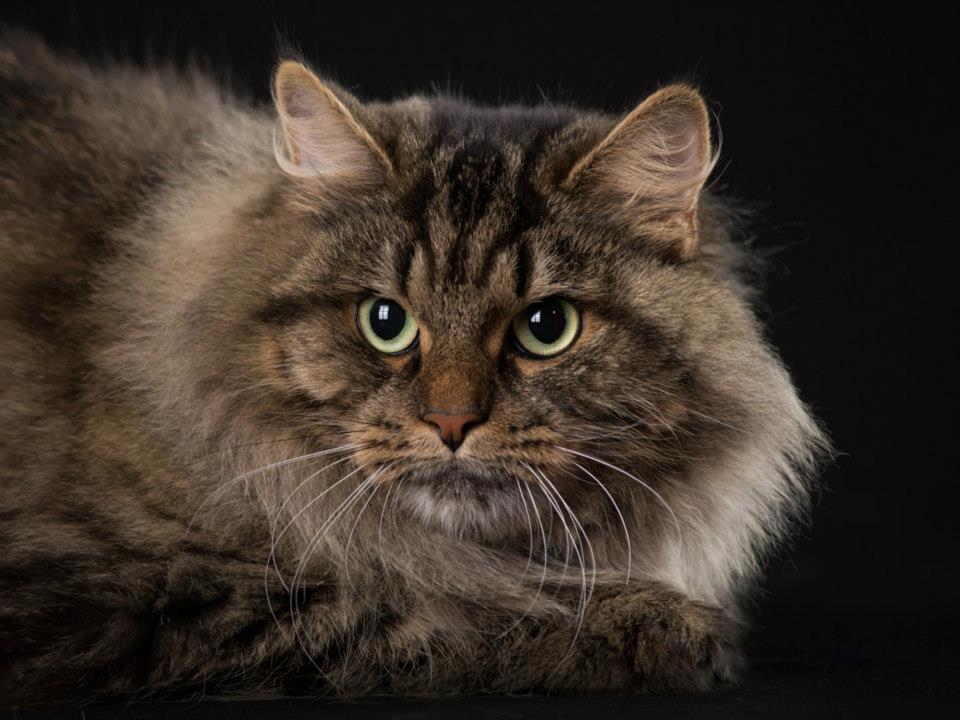 most hypoallergenic cat