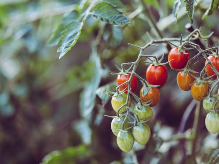 When Is The Right Time to pick tomatoes?