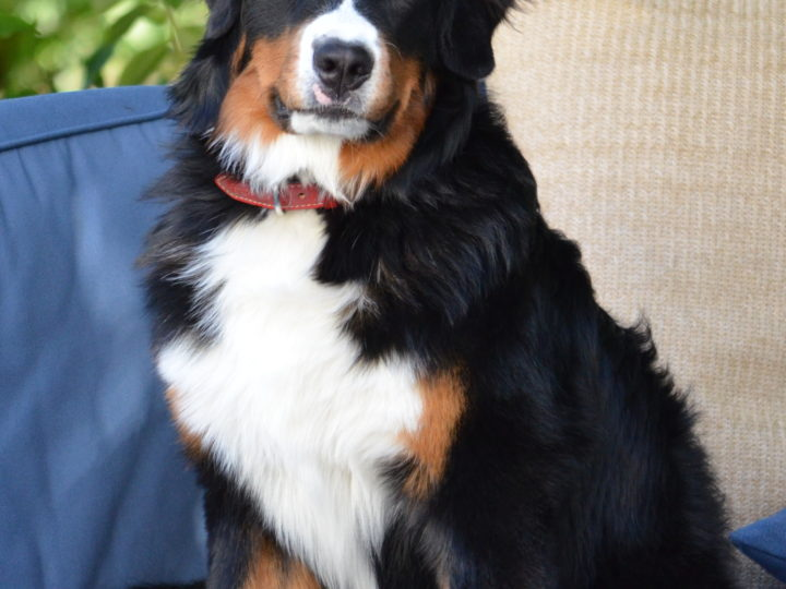 Cute And Attractive St. Bernese- The Mountain Dog