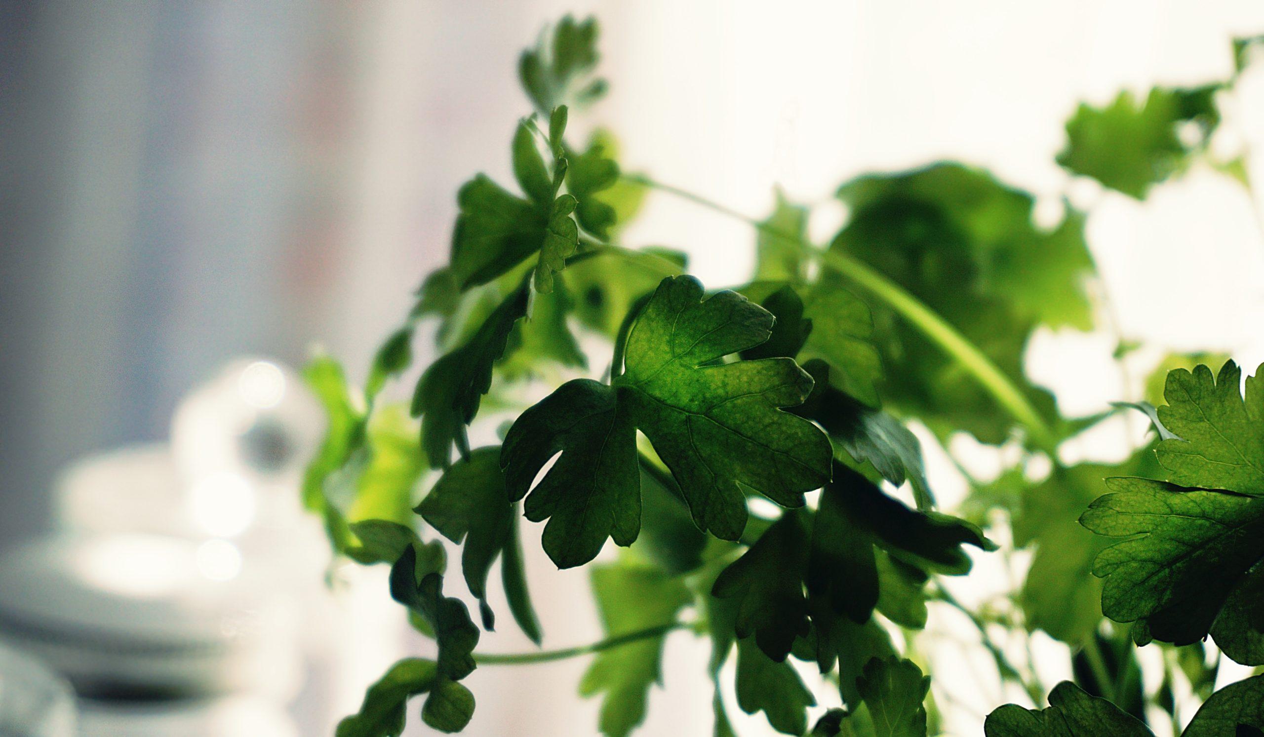 tips to grow cilantro