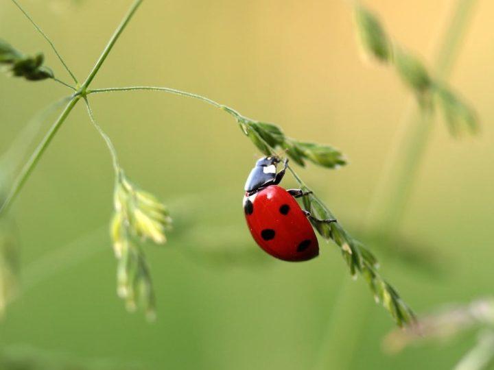 Are Ladybugs Poisonous?