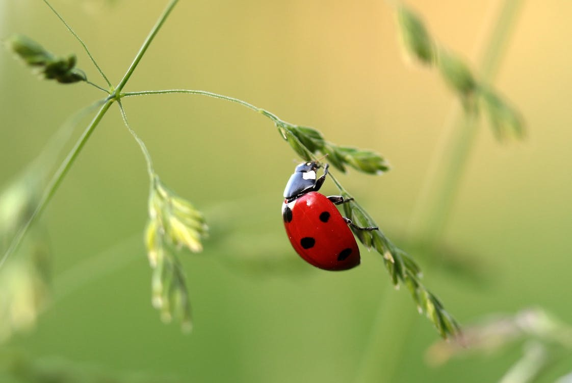 are ladybugs poisonous