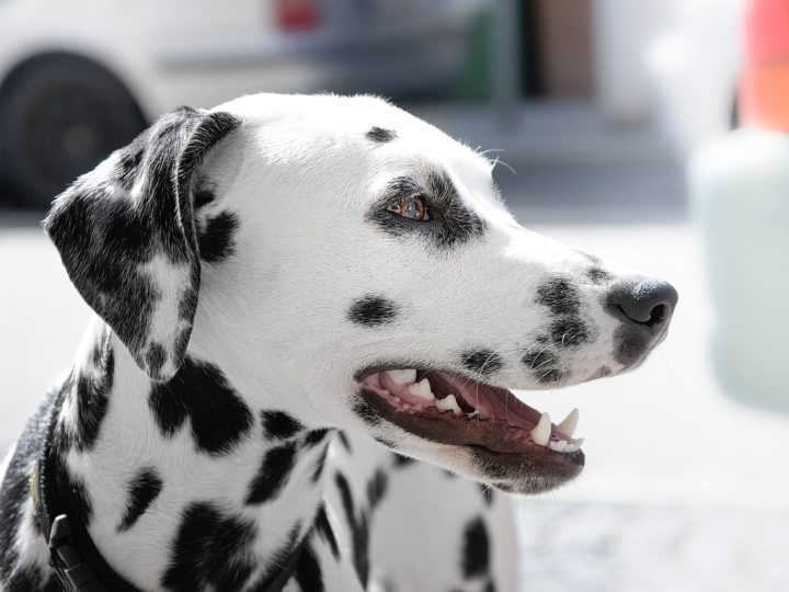 Adorable Black and White Dog Breeds