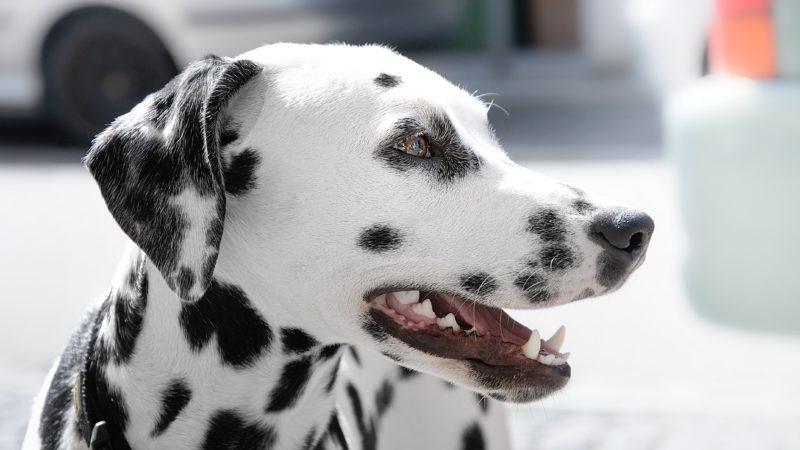 black and white dog breeds