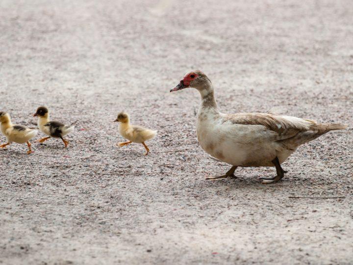 duck lifespan
